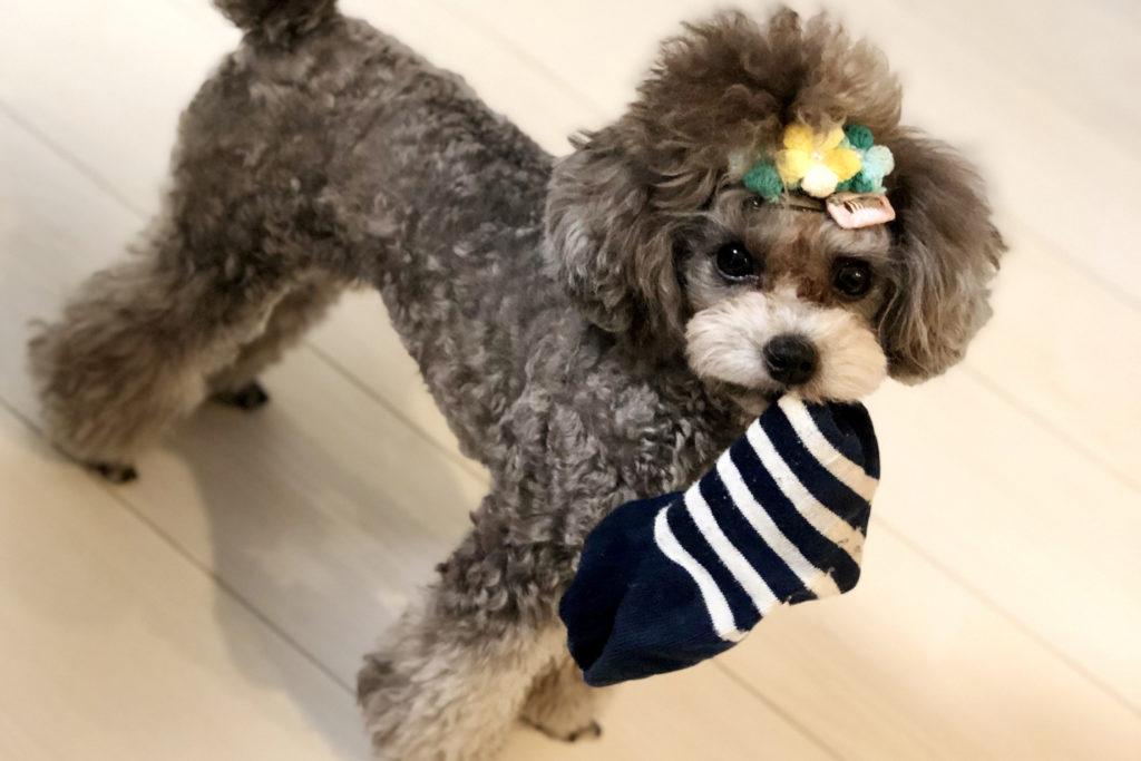 どうして犬はお父さんの靴下が好きなの?